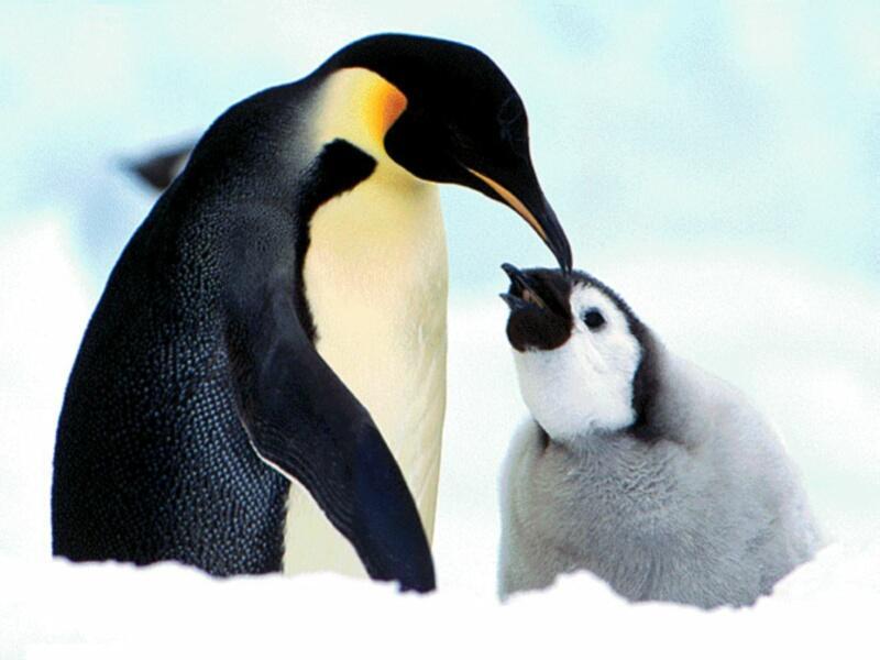 pingouin 1