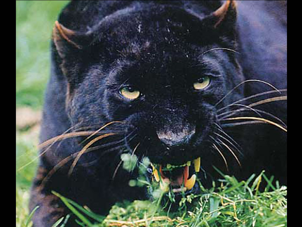 Pantheres