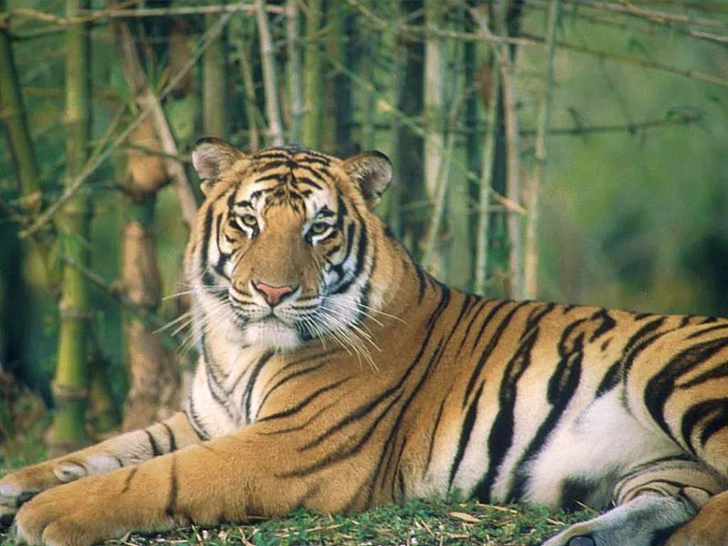 tigre 13