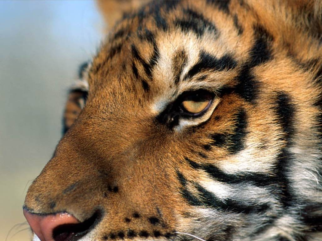 tigre 14