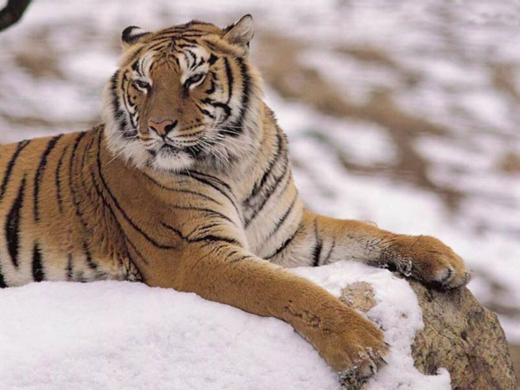 tigre 16