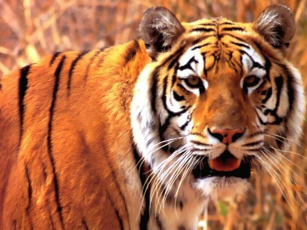 tigre 19