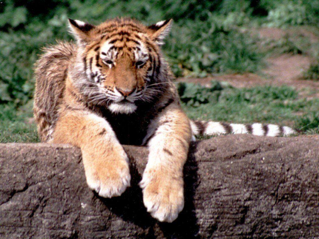 tigre 20