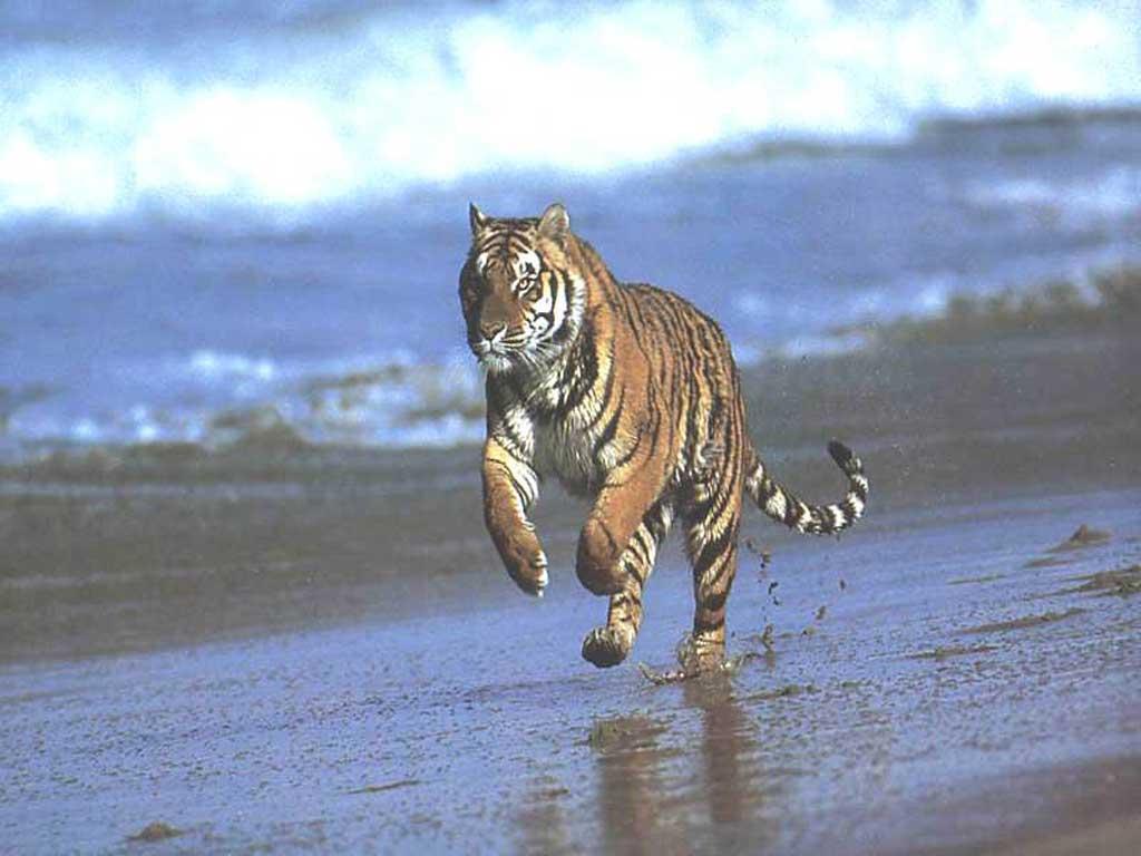 tigre 25