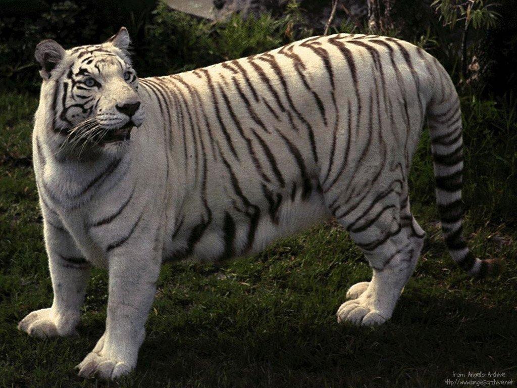 tigre 26