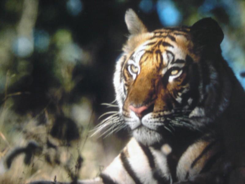 tigre 27