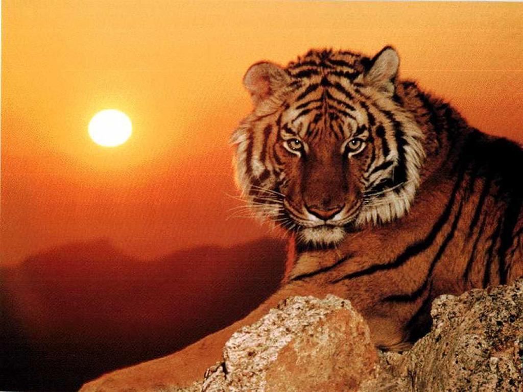 tigre 28