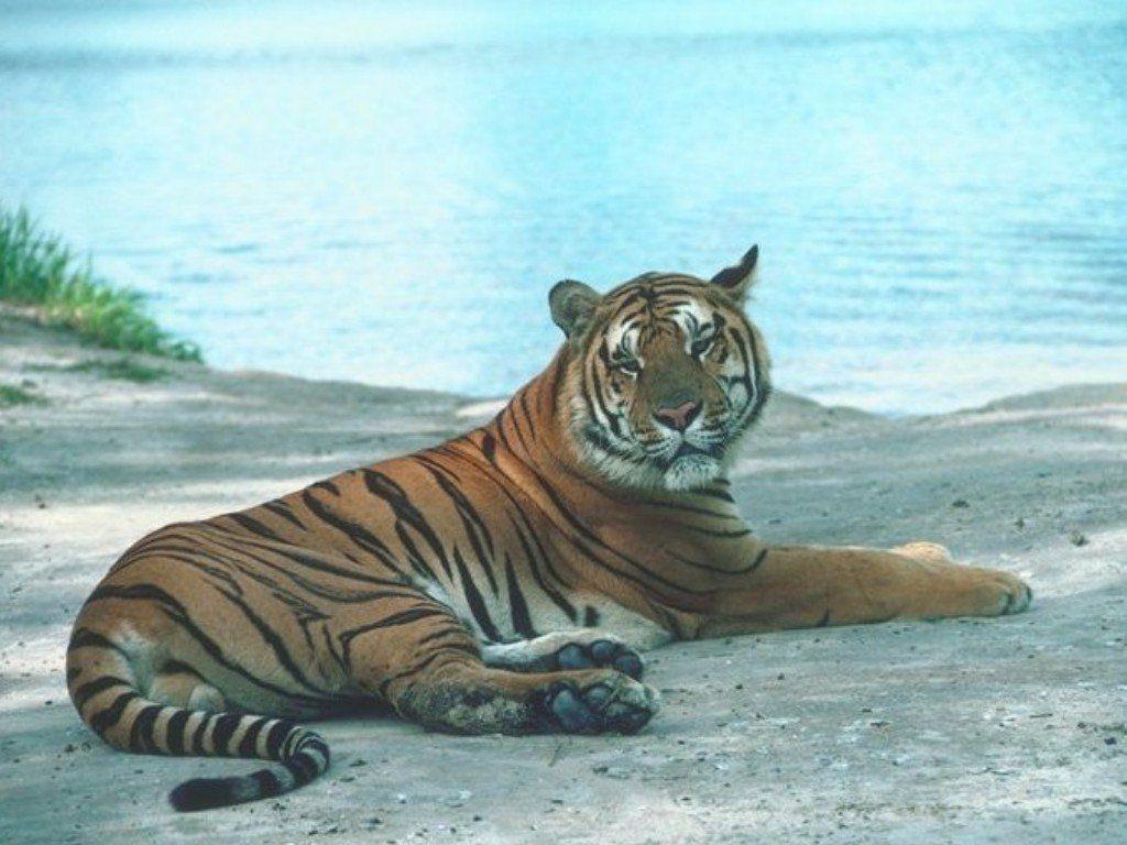 tigre 30