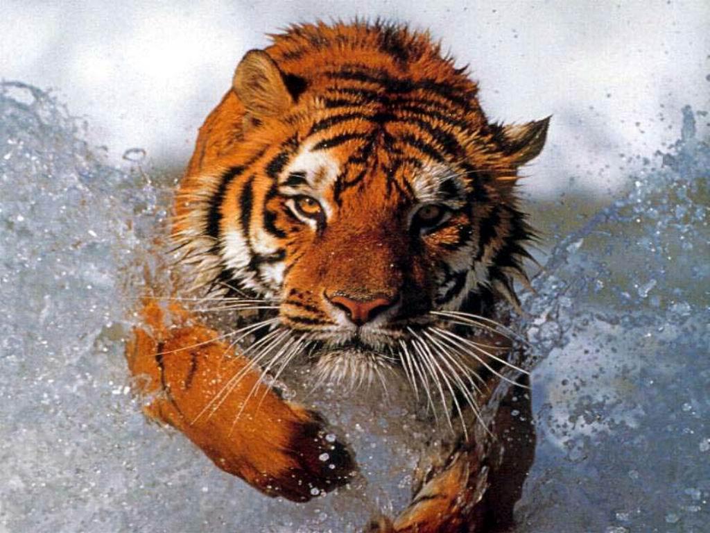tigre 31