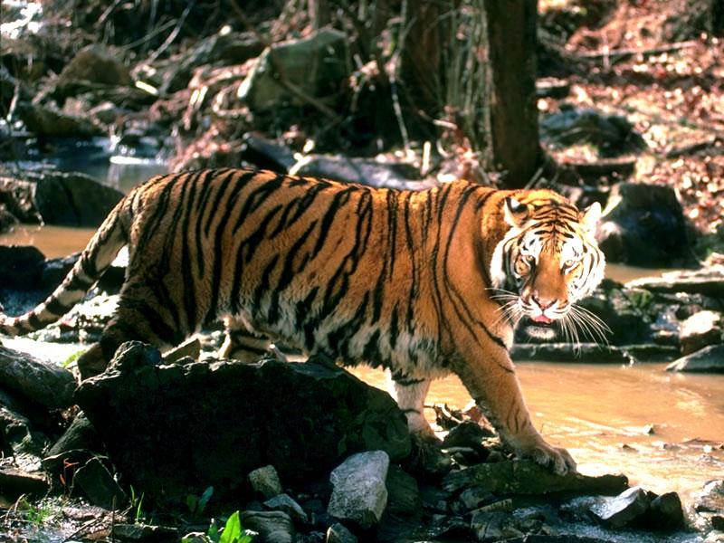 tigre 32