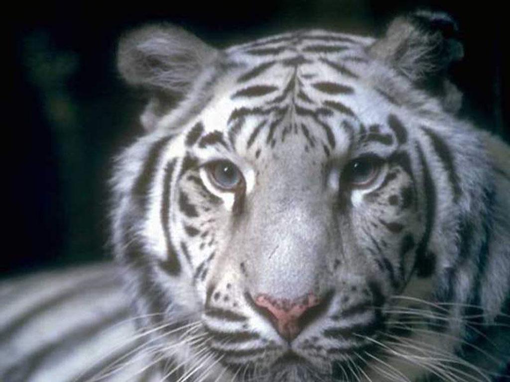 tigre 8