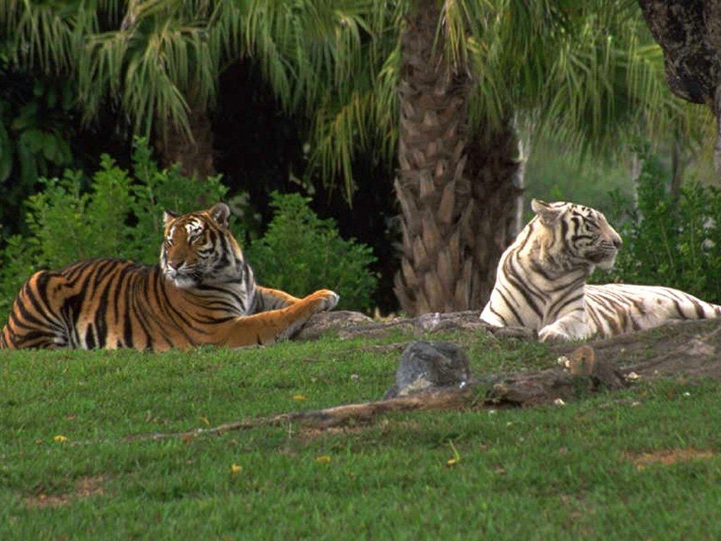 tigre 9