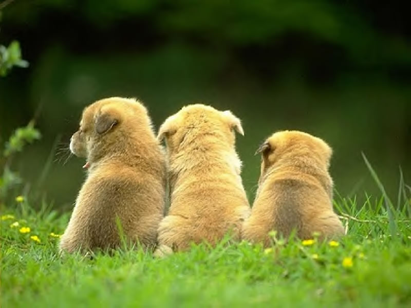chiens 1