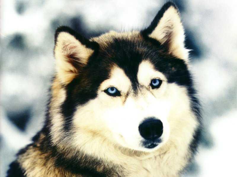 chiens 17