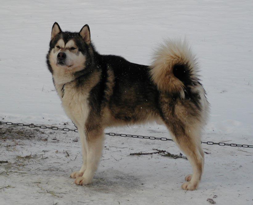 chiens 39