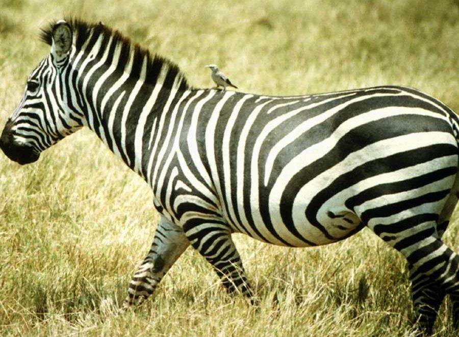 zebre-3