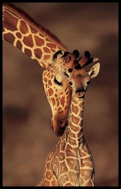 girafe 2