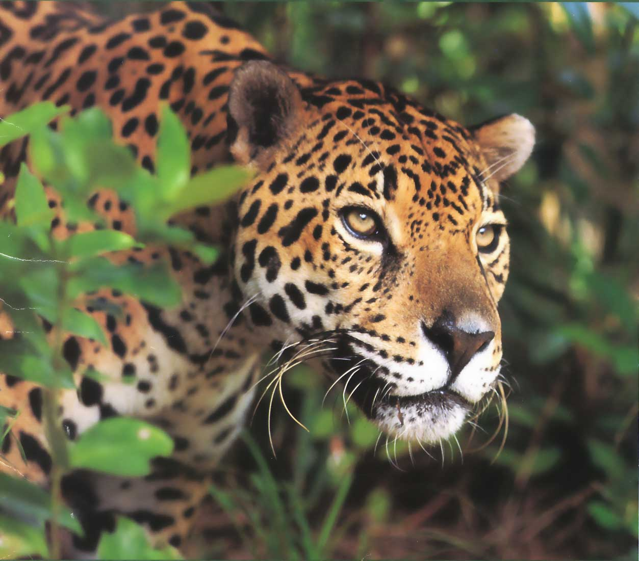 jaguar 8