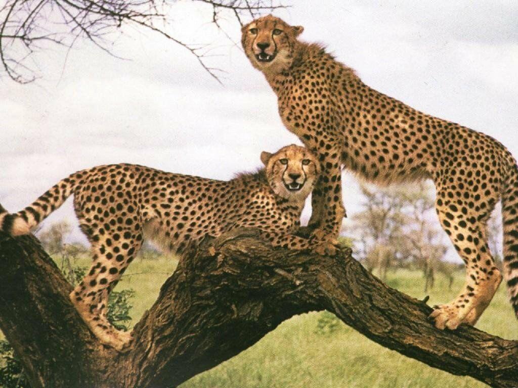 guepard 1
