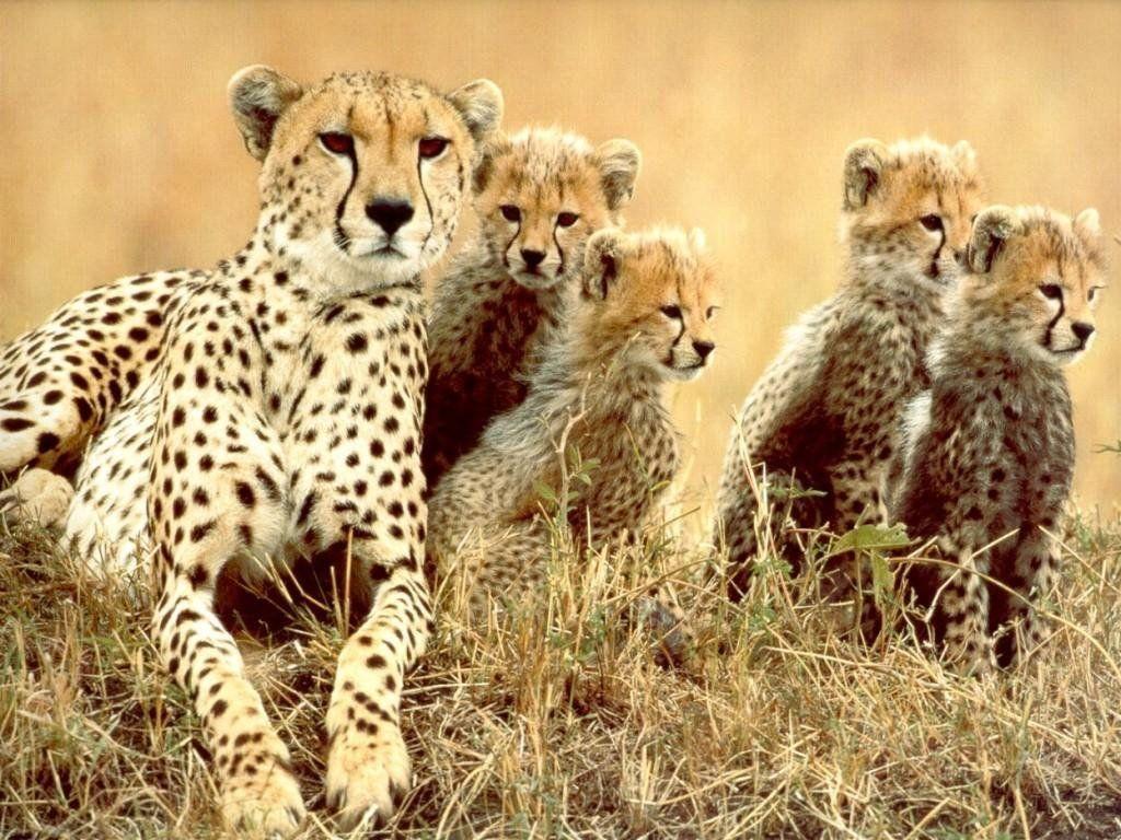 guepard 3